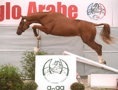 Tack de Ninet fils de Quack Champion de France Male 2ans Anglo Arabe!!!