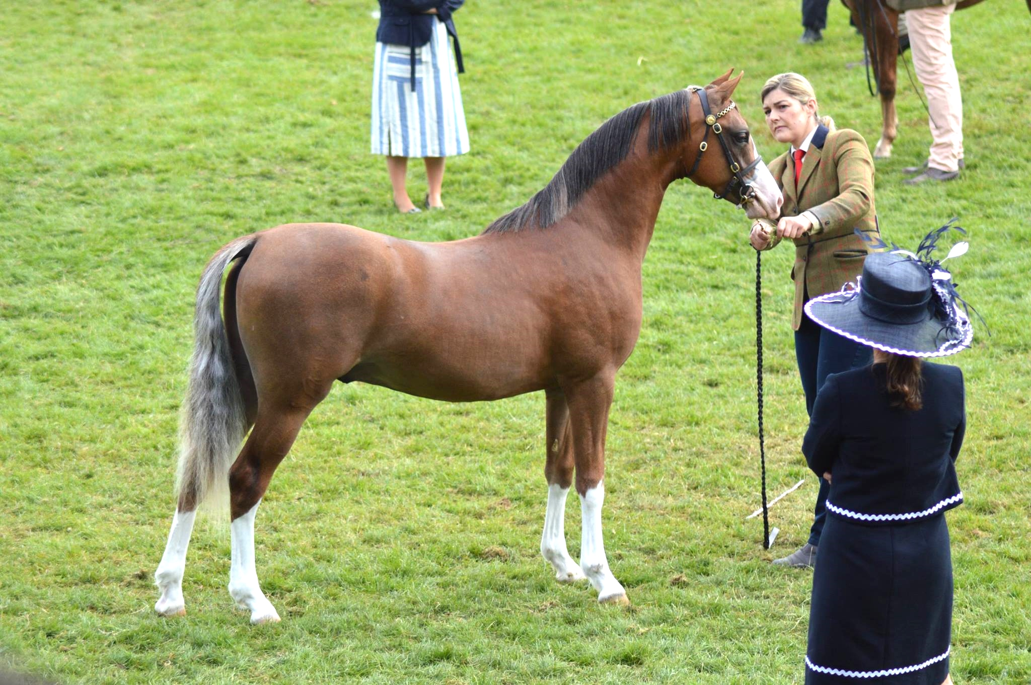 Kallared Lovestruck- 1st Yearling Colts Royal Welsh Show !!!