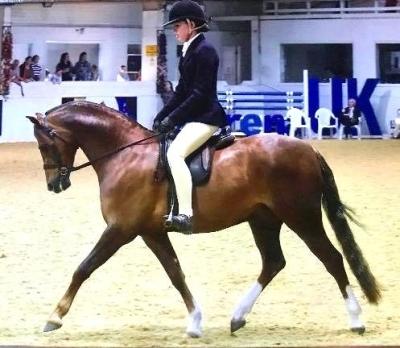 EXCLUSIVE DIAM (Moelview Mohawk/Mynach Mary Rose) Qualifié Royal International Horse Show/ Hickstead.