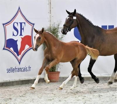 Les foals de Cartier vd Heffinck ont été remarquable à St Lô- Championnat des  Foals !!!