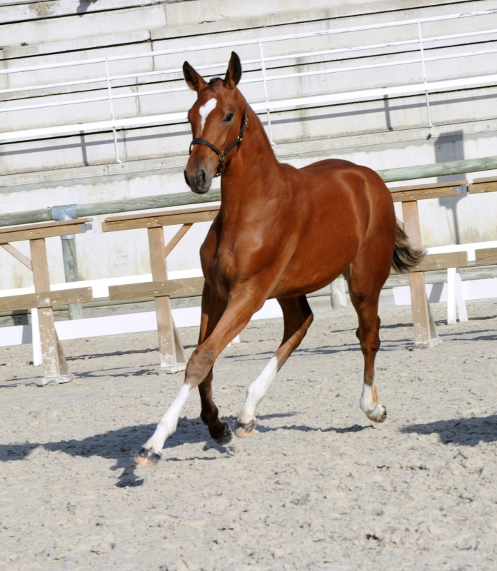 Aloha Diam 6ém Femelles Foal Championnat de France SF St Lo