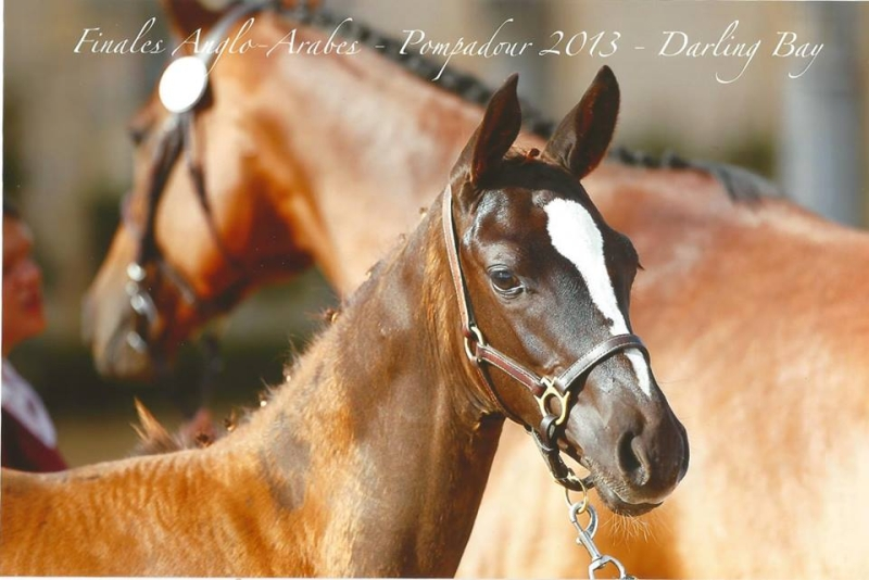 Darling Bay Champion de France foal