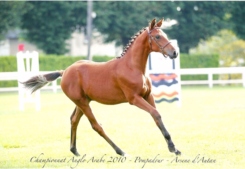 Autan d'Arsene  4é championnat de france Anglo Arabe foals