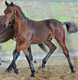 Thanos d'Avens Champion de France Saumur Dressage
